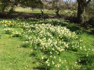 Beautiful daffodils in abundance in  our garden