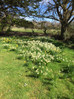 Beautiful daffodils in abundance in  our garden