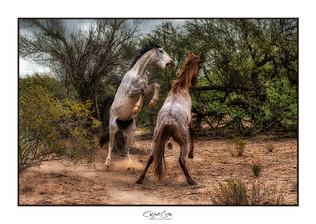 Mustangs dancing in the desert