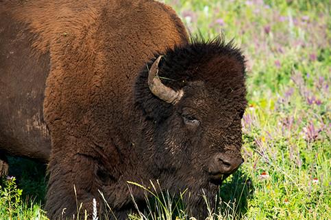 "Bison ""Buffalo"""