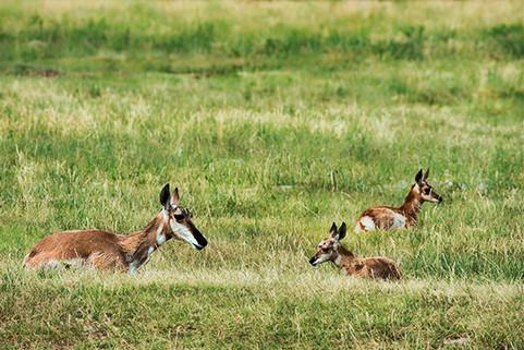 "Pronghorn ""American Antelope"""