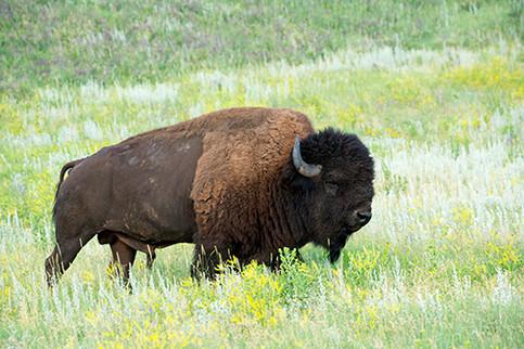 "Bison ""American Buffalo"""