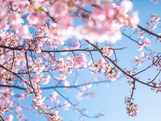 今年は桜の開花が早まりそうで・・・・