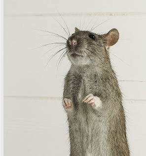 Rodent Removal & Exclusion