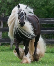 a shire horse exercising in a field