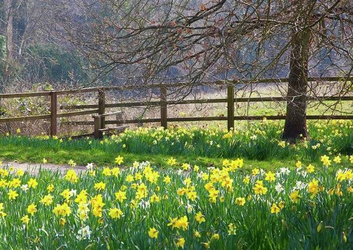 daffodils-alongside-a-footpath-nigel-bur