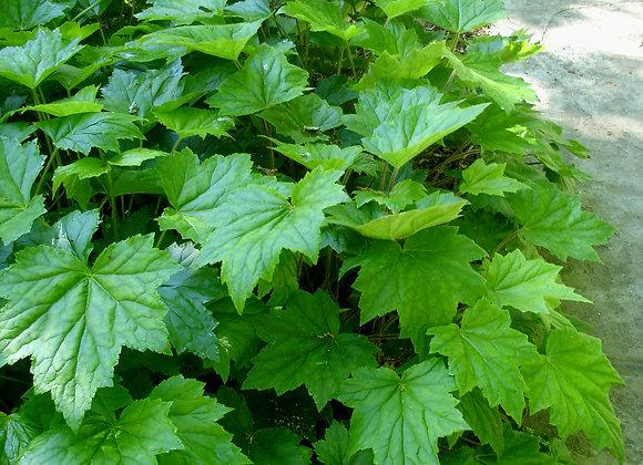 Heuchera parviflora  - Littleflower Alumroot - Quart
