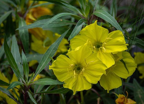 Oenothera macrocarpa - Missouri Evening Primrose - Quart
