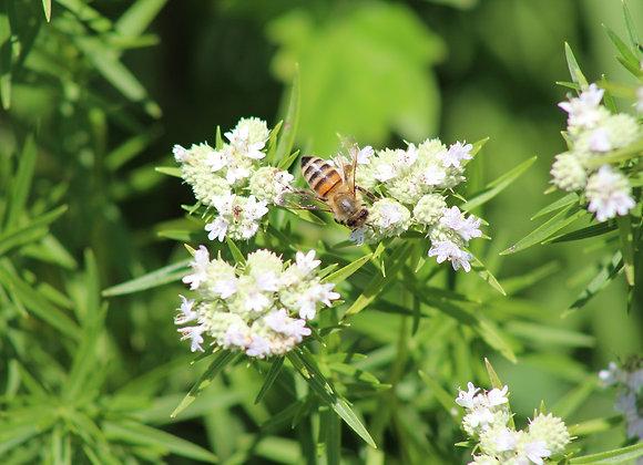 Pycnanthemum tenuifolium - Slender Mountain Mint - Quart