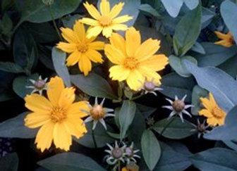 Coreopsis pubescens - Star Coreopsis - Quart