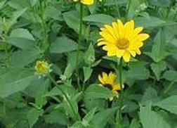 Heliopsis helianthoides - Oxeye Sunflower - Quart