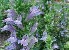 Lobelia siphilitica - Blue Lobelia - Quart