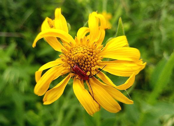 Verbesina helianthoides - Yellow Wingstem - Quart