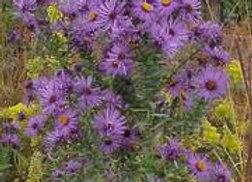 Symphyotrichum novae-angliae - New England Aster - Quart
