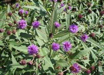 Vernonia arkansana - Curlytop Ironweed - Quart