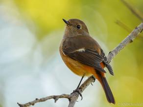 山田池公園の野鳥日記(2020年11月15日)
