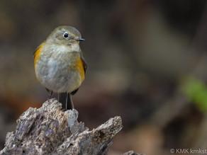 山田池公園の野鳥日記(2021年1月17日)