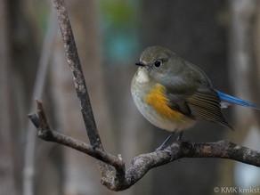 宝が池公園/京都御苑の野鳥日記(2021年1月3日)