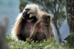 Gelada-baboons-in-the-Simien-Mountains-of-Ethiopia-637665198_5184x3456