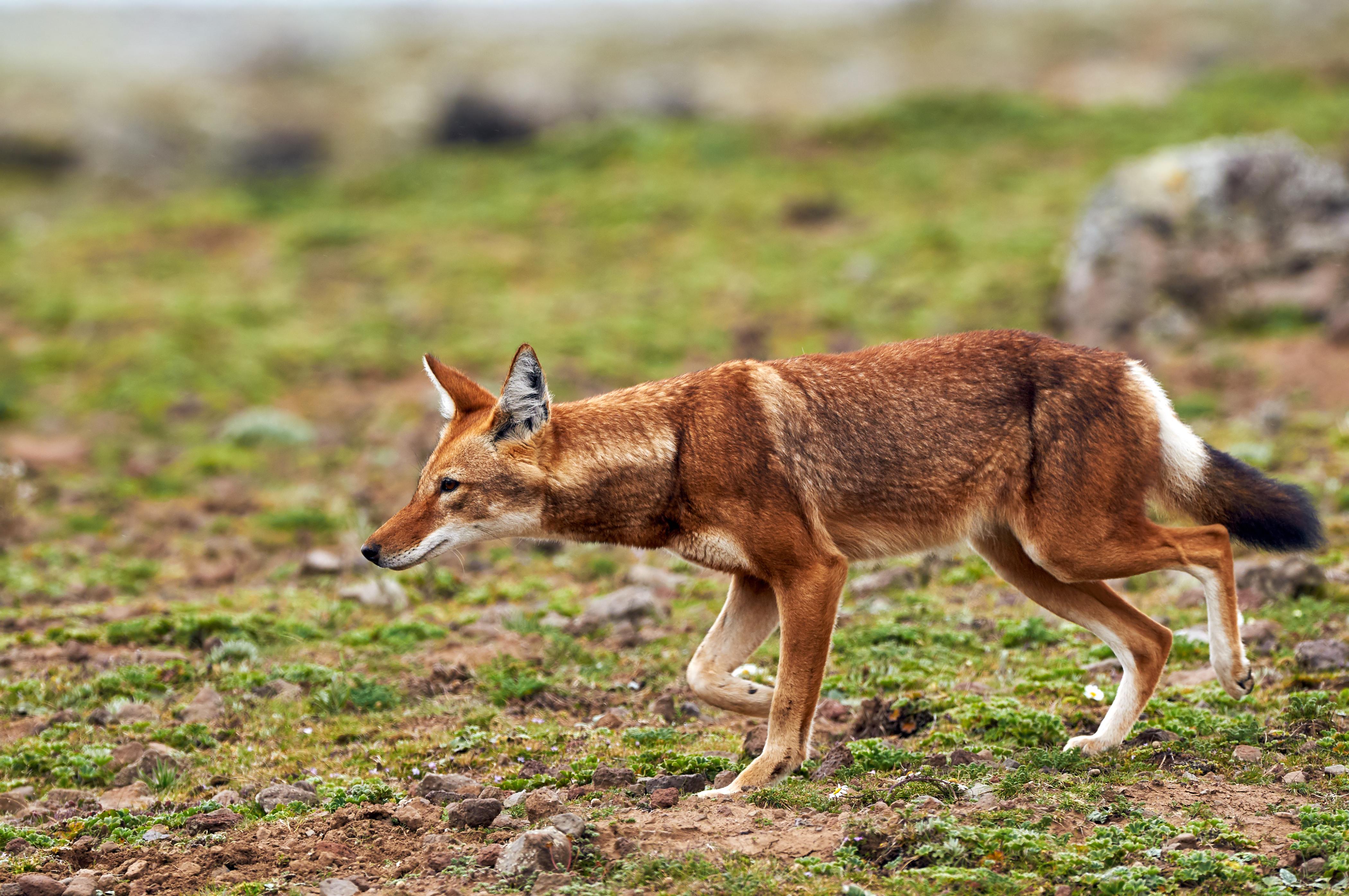 Ethiopian-Wolf-489430118_4200x2790