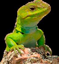 lagarto.png
