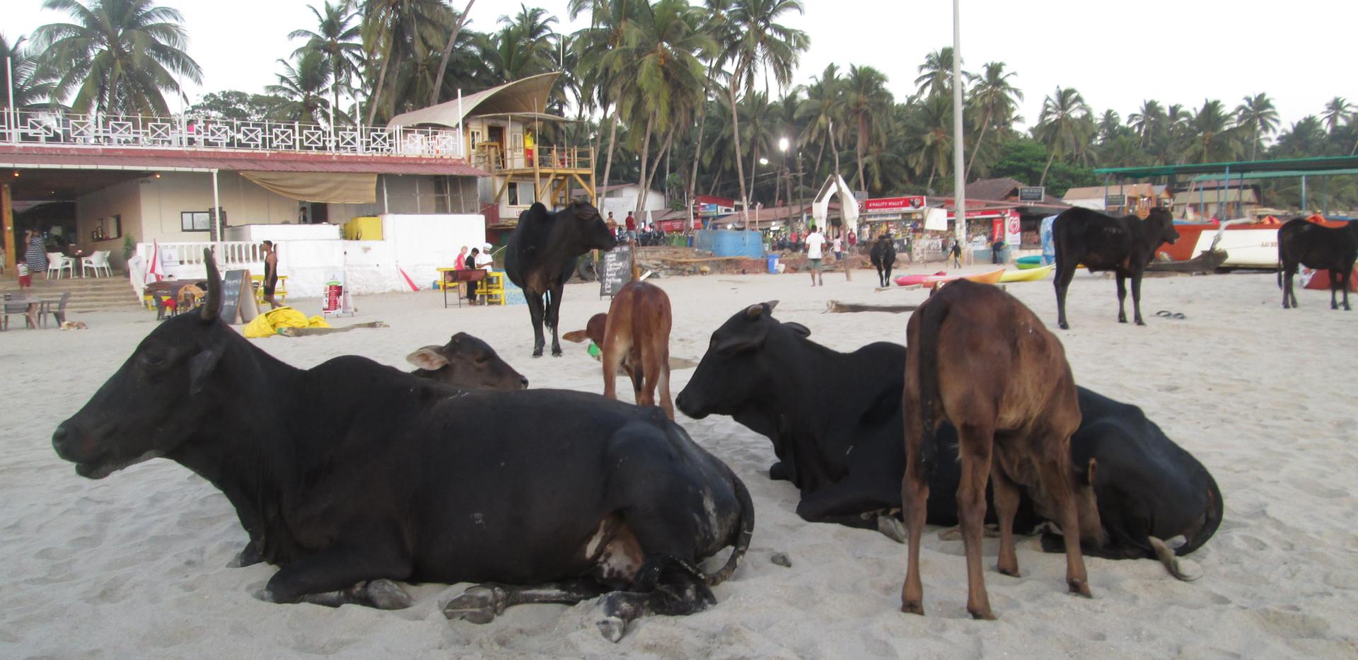 Køer på stranden Palolem Beach