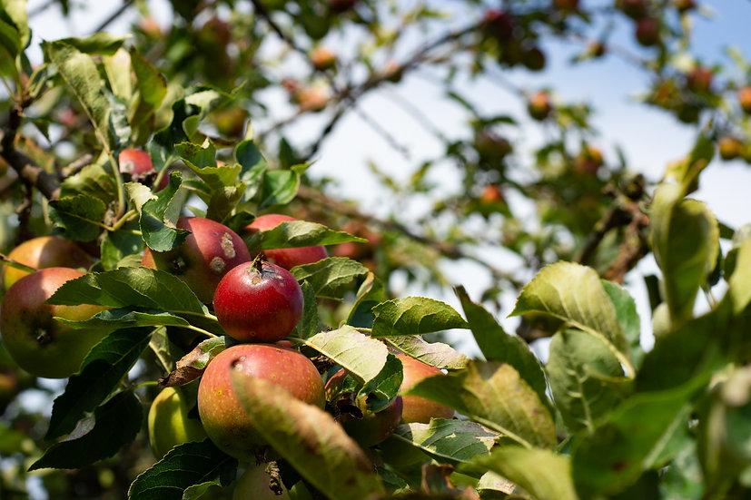 Premium Quality Art Print   Apple Tree    Yorkshire Photo Restoration