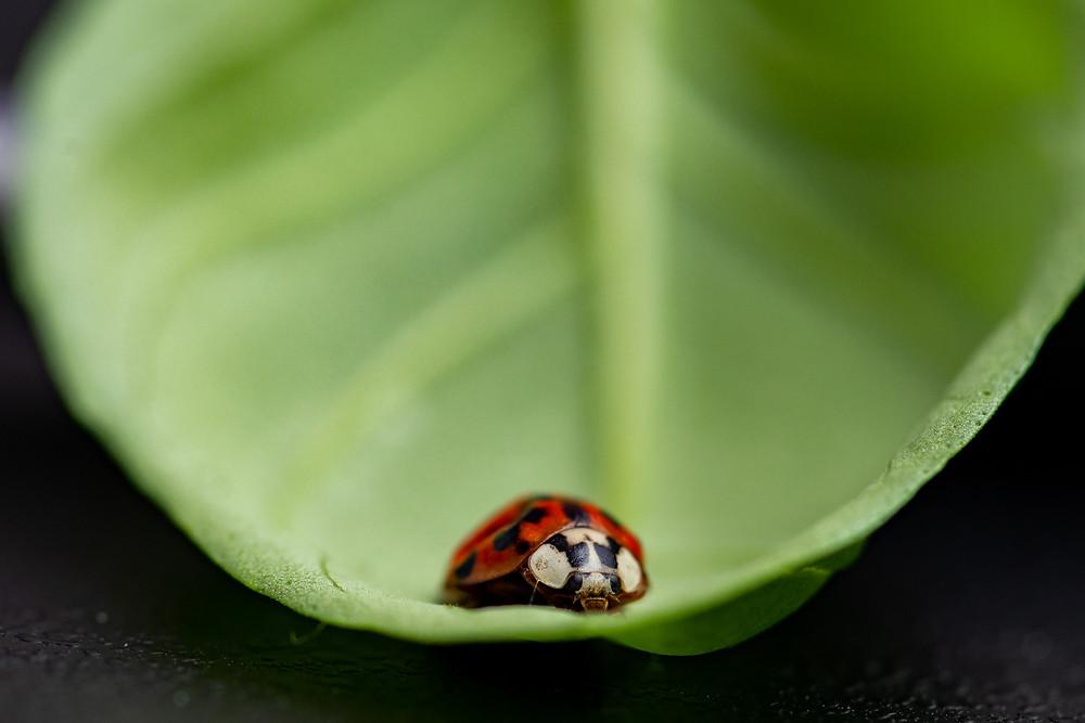 A photograph of a ladybird