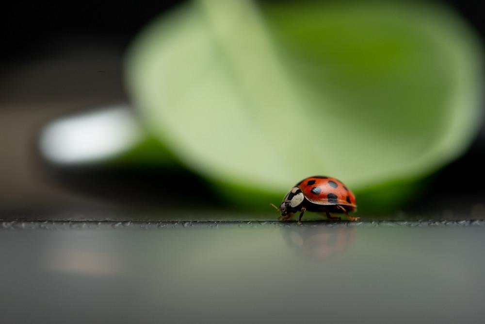Ladybird and basil