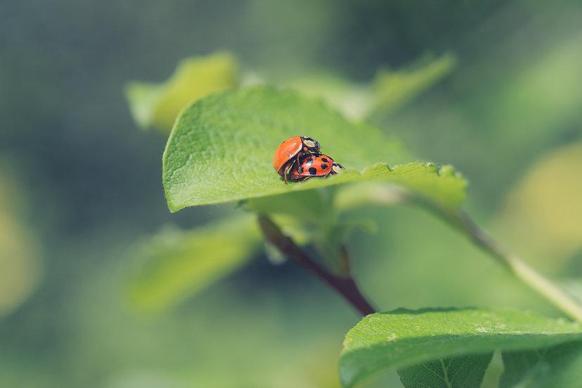 Premium Quality Art Print | Ladybird Love  | Yorkshire Photo Restoration