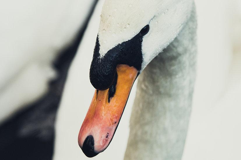 Premium Quality Art Print |  Swan  | Yorkshire Photo Restoration