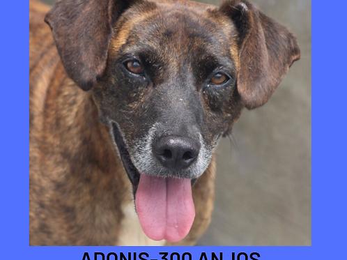 Adonis-300 Anjos
