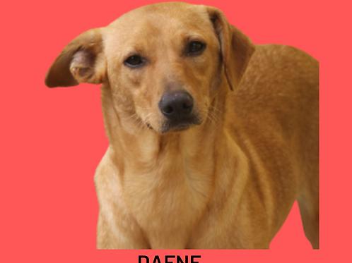 Dafne-300 Anjos