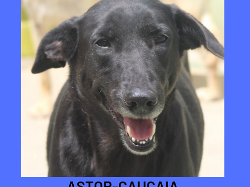 Astor-caucaia