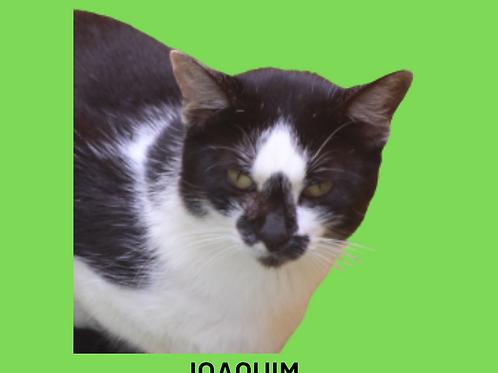 Joaquim-gato