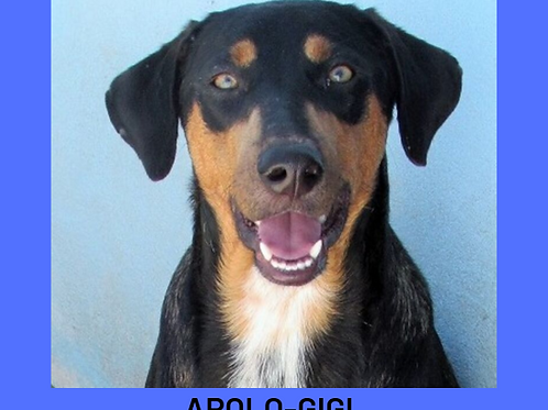 Apolo-gigi