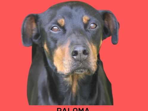 Paloma-300 Anjos