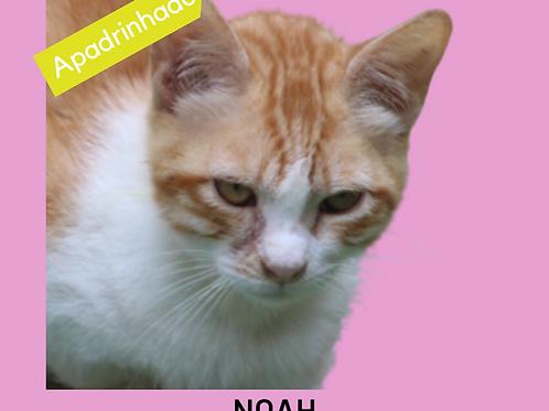 Noah-gato