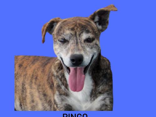 Pingo-alice