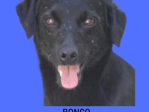 Bongo-300 Anjos