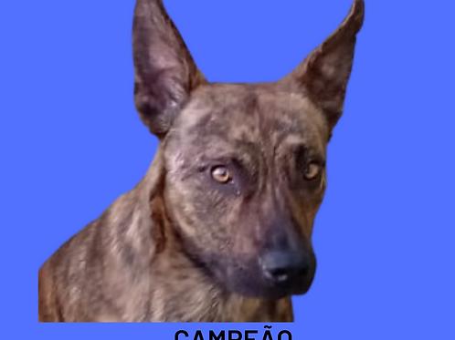 Campeão-embu