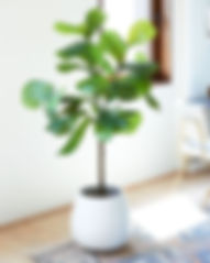 Fiddle Fig Tree Rental.jpg