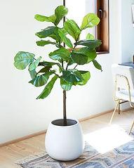 Fiddle Fig Tree Rental.jpg