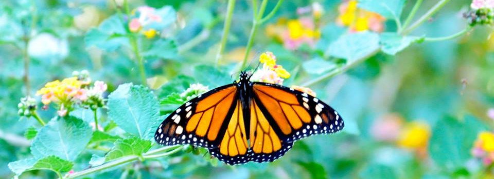 Bentwater Monarch Butterfly