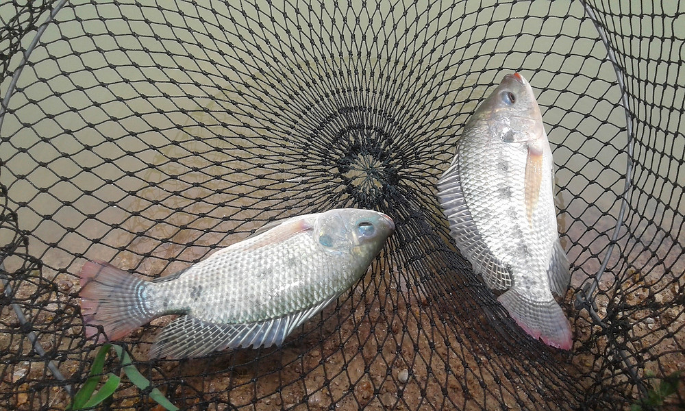 Common tilapia grown on our farm in Thailand. Great tasting fish.