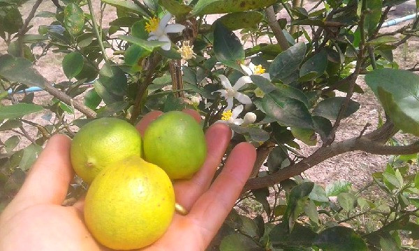Fresh limes form our organic trees. All our limes grown on our Thai farm are 100% organic.