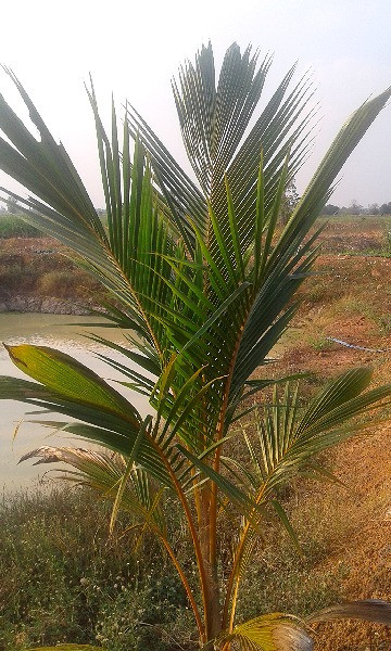 A young coconut tree on our farm in Thailand.