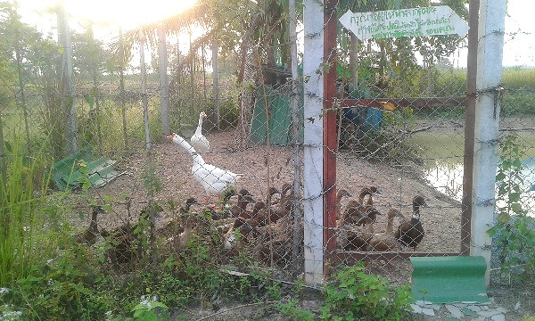 Feeding our geese and ducks on our farm in rural Thailand.