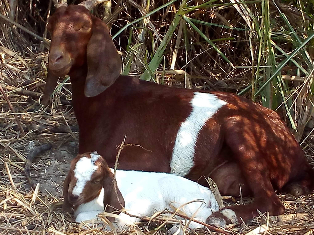 An adult nanny goat & her newly born baby kid goat