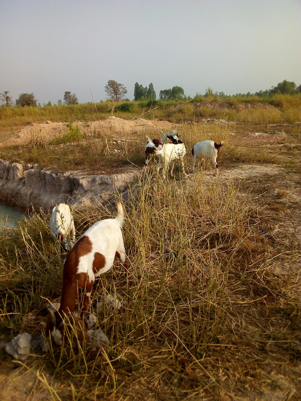 a herd of goats in thailand